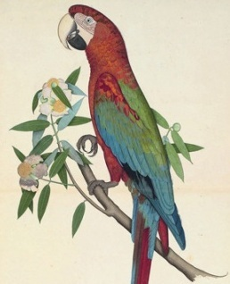 07_Green-Winged-Macaw