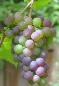 594832_grapes