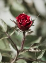 1243653_the_lone_rose