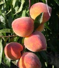 634600_peach_havest