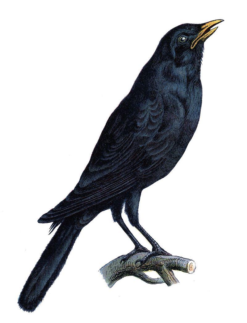Bird crow vintage graphicsfairy007b